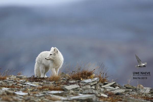 Polarfuchs,Eisfuchs,Arctic Foxes,Alopex lagopus,Vulpex lagopus 0019