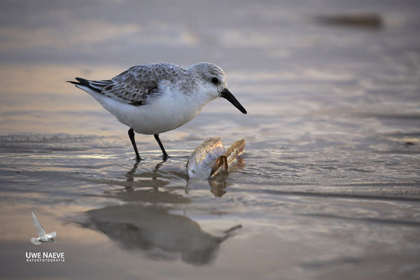 Sanderling Calidris alba Sanderling 0001