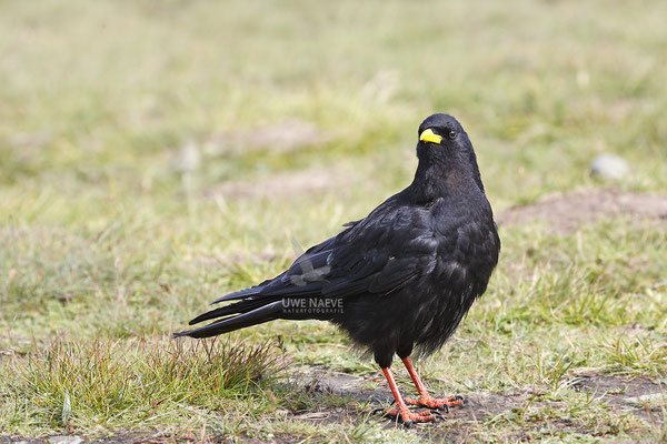 Alpendohle,Pyrrhocorax graculus,Alpine Chough 0002