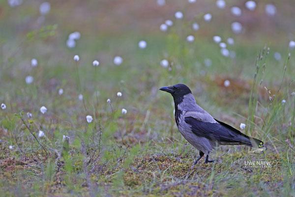 Nebelkrähe,Corvus corone cornix,Hooded Crow 0001