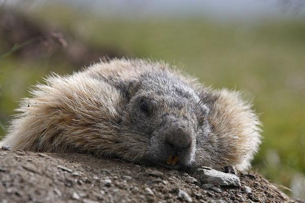 Alpenmurmeltier,Marmota,Marmot 0001