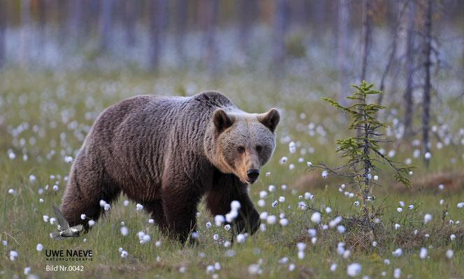 Braunbaer Ursus arctos brown bear 0042