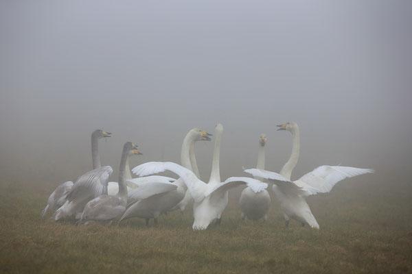 Singschwan,Whooper Swan,Cygnus cygnus 0059