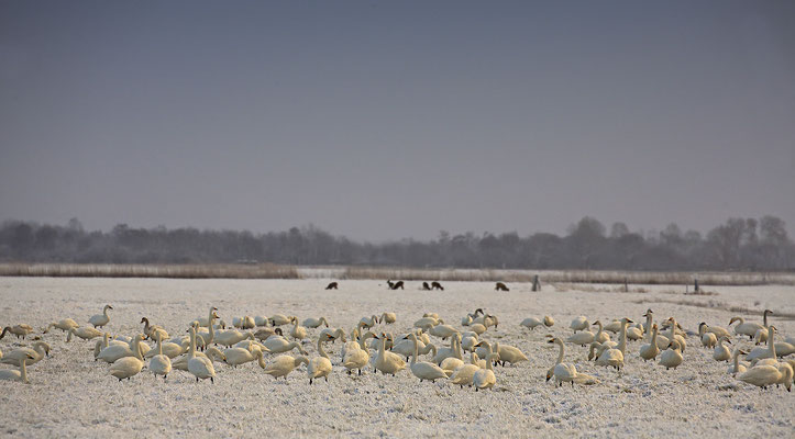 Zwergschwaene,Cygnus bewickii,Bewicks Swan 0091