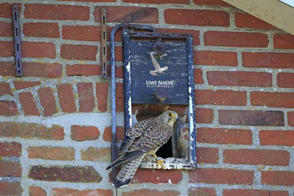 Turmfalke,Cammon Kestrel,Falco tinnunculus 00045