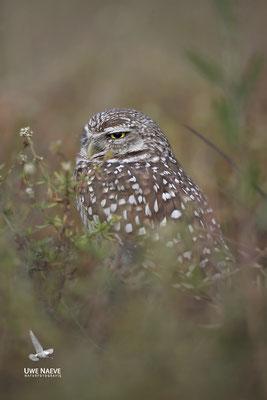 Kaninchenkauz, Burrowing Owl,Speotyto cuniculuria 0018