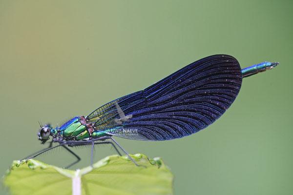 Blaufluegel Prachtlibelle Maennchen Calopteryx Virgo meridionalis 0013