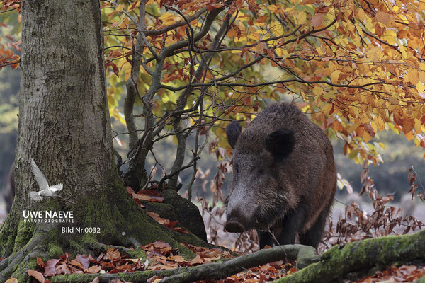 Wildschweinbache,Wild Boar sow,Sus scrofa 0032