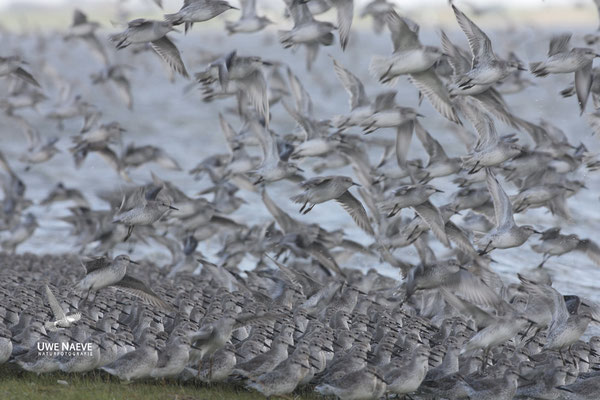 Knutts,Calidris canutus,Red Knots 0002