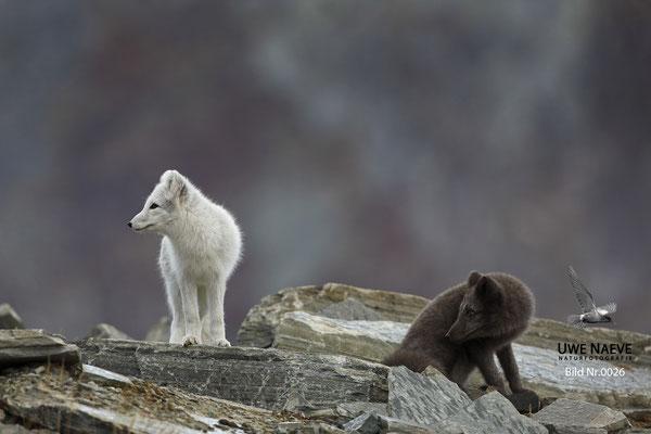 Polarfuchs,Eisfuchs,Arctic Foxes,Alopex lagopus,Vulpex lagopus 0026