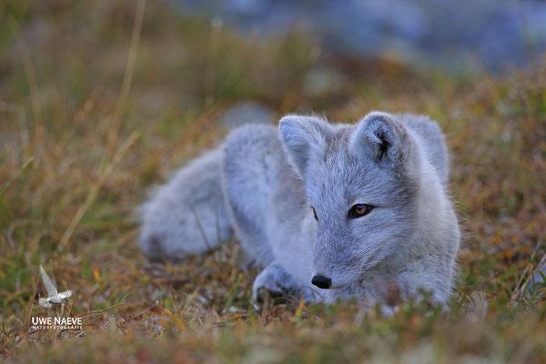 Polarfuchs,Eisfuchs,Arctic Foxes,Alopex lagopus,Vulpex lagopus 0080