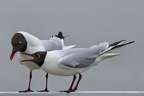 Lachmoewe ,Larus ridibundes,Black-headed Gull 0033