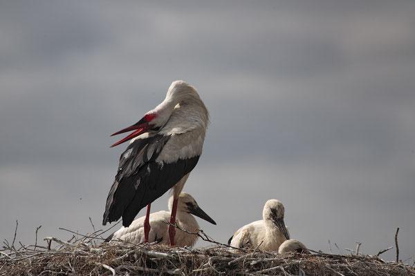 Weissstoerche,White Stork,Ciconia ciconia 0056