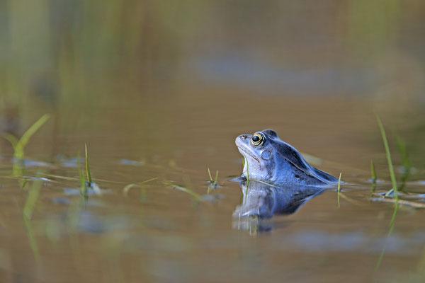 Moorfrosch rana arvalis moor frog 0008