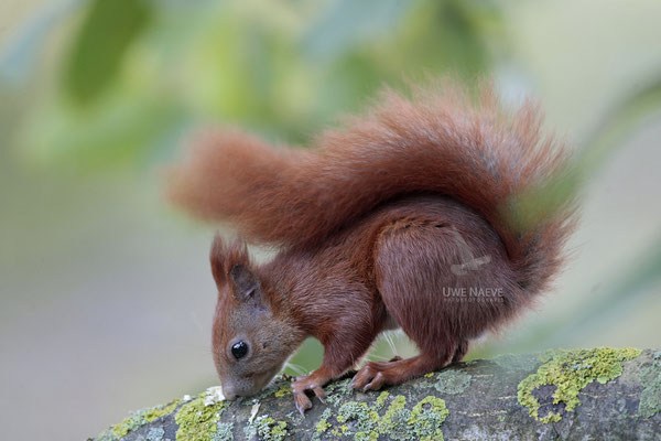 Eichhoernchen,Sciurus vulgaris,Red Squirrel 0003