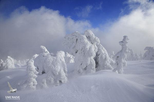 Harz, Brocken,Fichtenwald im Winter 9997