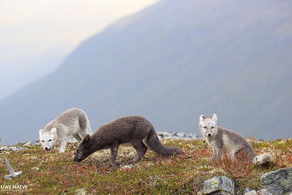 Polarfuchs,Eisfuchs,Arctic Foxes,Alopex lagopus,Vulpex lagopus 0109