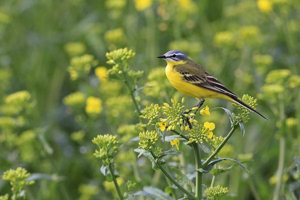Schafstelze,Western Yellow Wagtail,Motacilla flara 0005