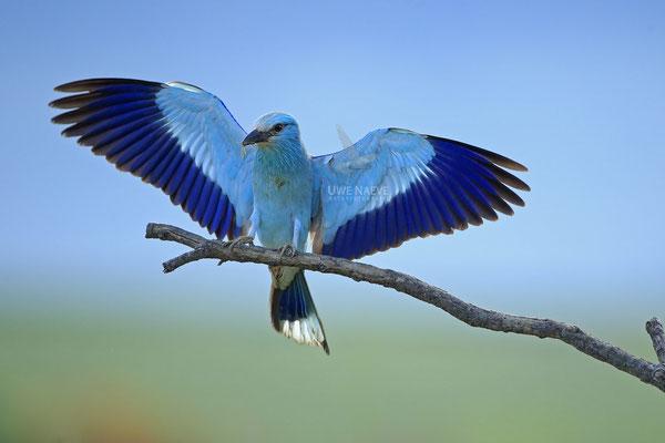 Blauracke, Coracias garrulus, Blue Roller 0041