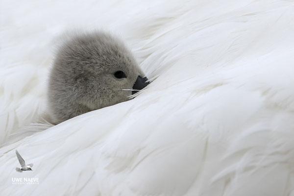 Hoeckerschwan,Mute Swan,Cygnus olor 0028