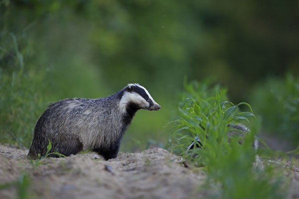 Dachs European Badger Meles meles 0025
