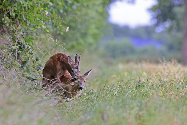 Rehbock,Capreolus capreolus,Roe Deer buck 0265