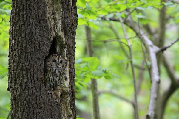 Waldkauz,Strix aluco,Tawny Owl 0019