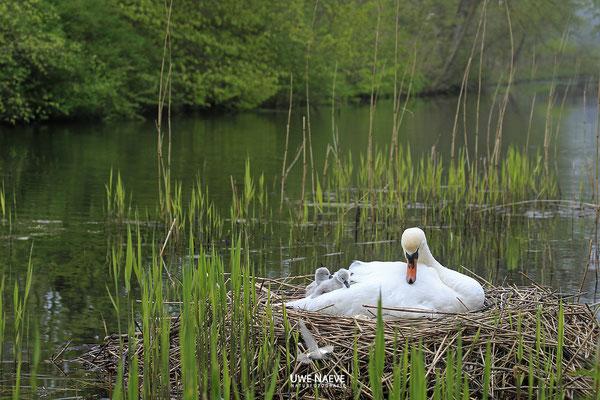 Hoeckerschwan,Mute Swan,Cygnus olor 0038
