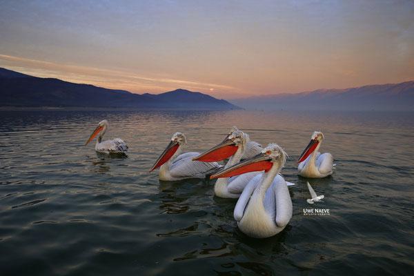 Krauskopfpelikan,Dalmatien pelican,pelecanus crispus 0010