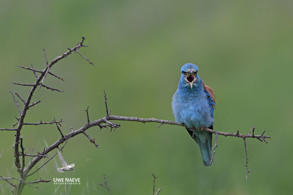 Blauracke, Coracias garrulus, Blue Roller 0031