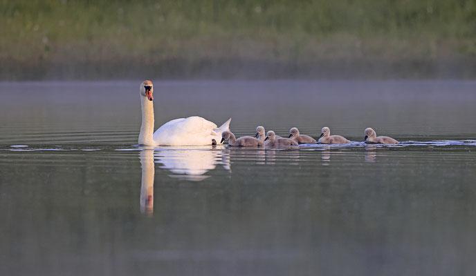 Hoeckerschwan,Mute Swan,Cygnus olor 0072