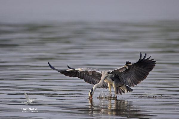 Graureiher,Grey Heron,Ardea cinerea 0027