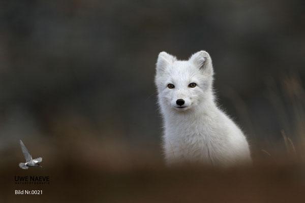 Polarfuchs,Eisfuchs,Arctic Foxes,Alopex lagopus,Vulpex lagopus 0021