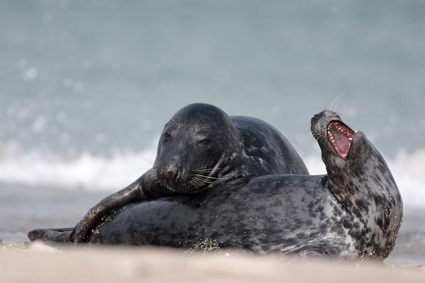 Kegelrobbe,Grey Seal,Halichoerus grypus 0004