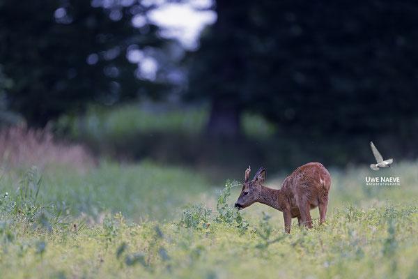 Rehbock,Capreolus capreolus,Roe Deer buck 0249