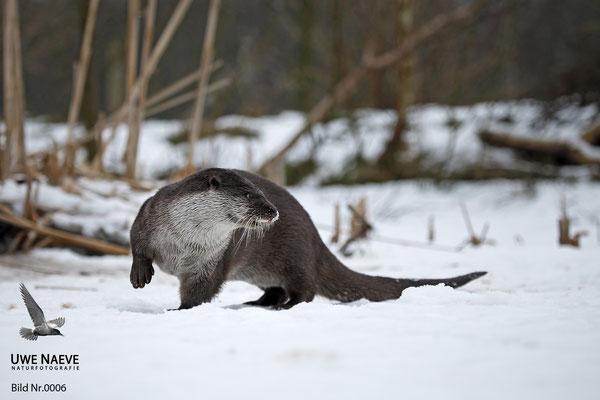 Fischotter,Otter,Lutra lutra 0006