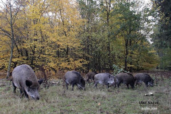 Wildschweinbache,Überläufer,Wild Boar sow and older piglet,Sus scrofa 0094