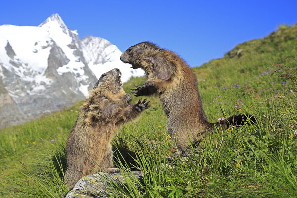 Alpenmurmeltier,Marmota,Marmot 0094