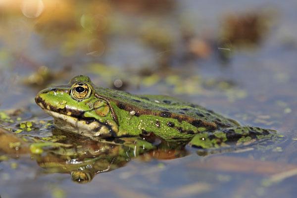 Teichfrosch Wasserfrosch Pelophylax Rana esculenta Edible Frog 0003