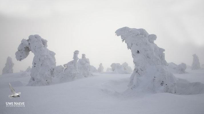 Harz, Brocken,Fichtenwald im Winter 8851