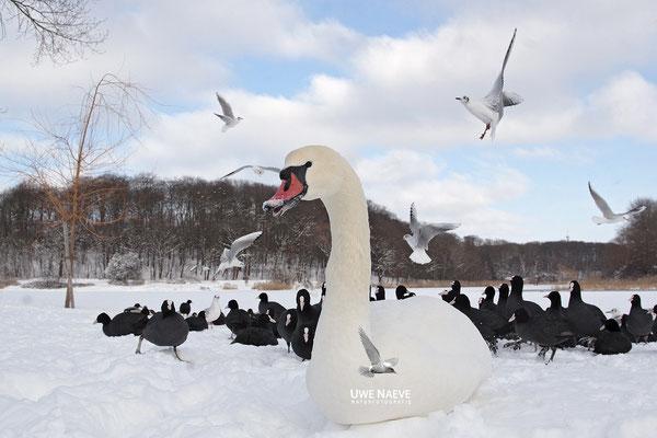Hoeckerschwan,Mute Swan,Cygnus olor 0005
