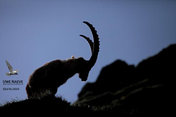 Steinbock Capra ibex Capri corn 0004