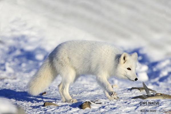 Polarfuchs,Eisfuchs,Arctic Foxes,Alopex lagopus,Vulpex lagopus 0009