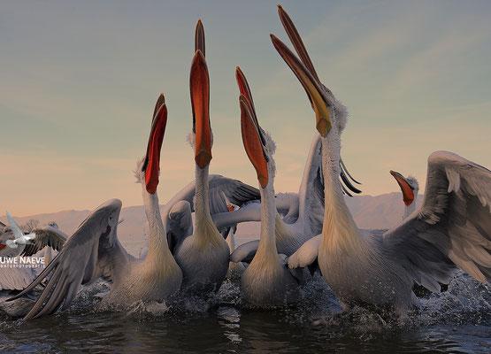 Krauskopfpelikan,Dalmatien pelican,pelecanus crispus 0076