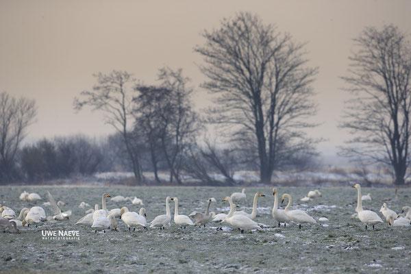 Singschwan,Whooper Swan,Cygnus cygnus 0046
