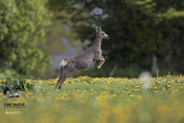 Reh,Ricke,Roe Deer doe,Capreolus capreolus 0153