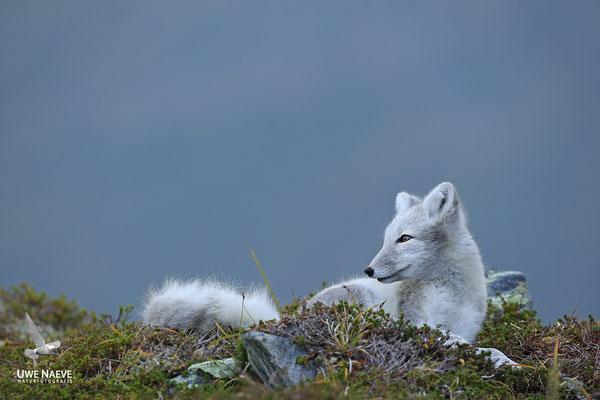 Polarfuchs,Eisfuchs,Arctic Foxes,Alopex lagopus,Vulpex lagopus 0082