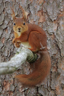 Eichhoernchen,Sciurus vulgaris,Red Squirrel 0022
