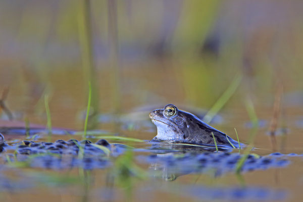 Moorfrosch rana arvalis moor frog 020