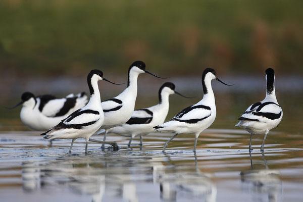 Säbelschnäbler,Recurvirostra avosetta,Avocet 31